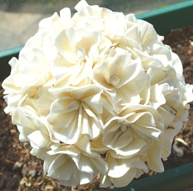 Snowball Hydrangea   single flower