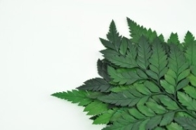 PRESERVED LEATHER FERN