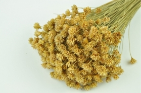Dried Hill Flower Natural